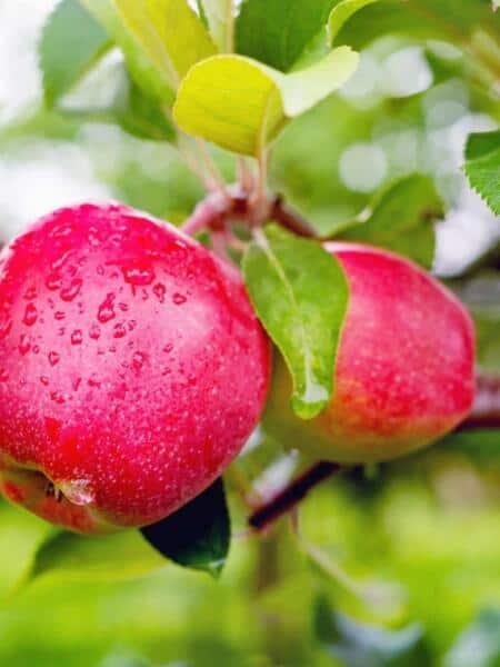 Appelboom Gloster