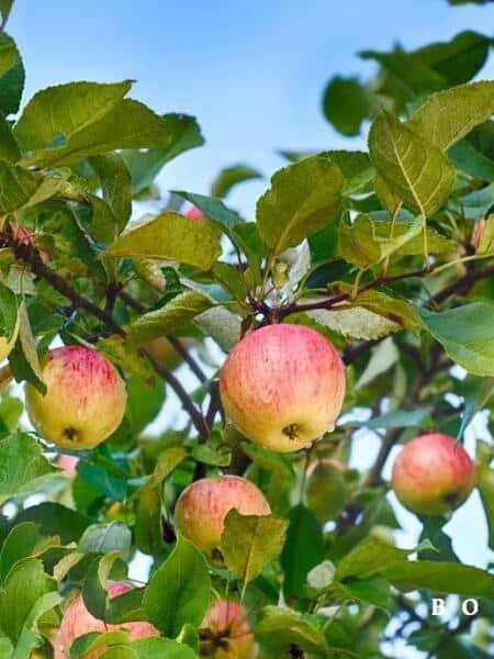 Appelboom Gravenstein