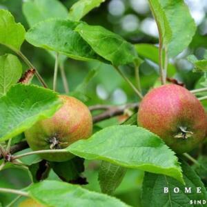 Appelboom Boskoop