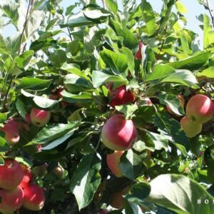 Algemeen-Appelboom-VruchtJamesGrieve