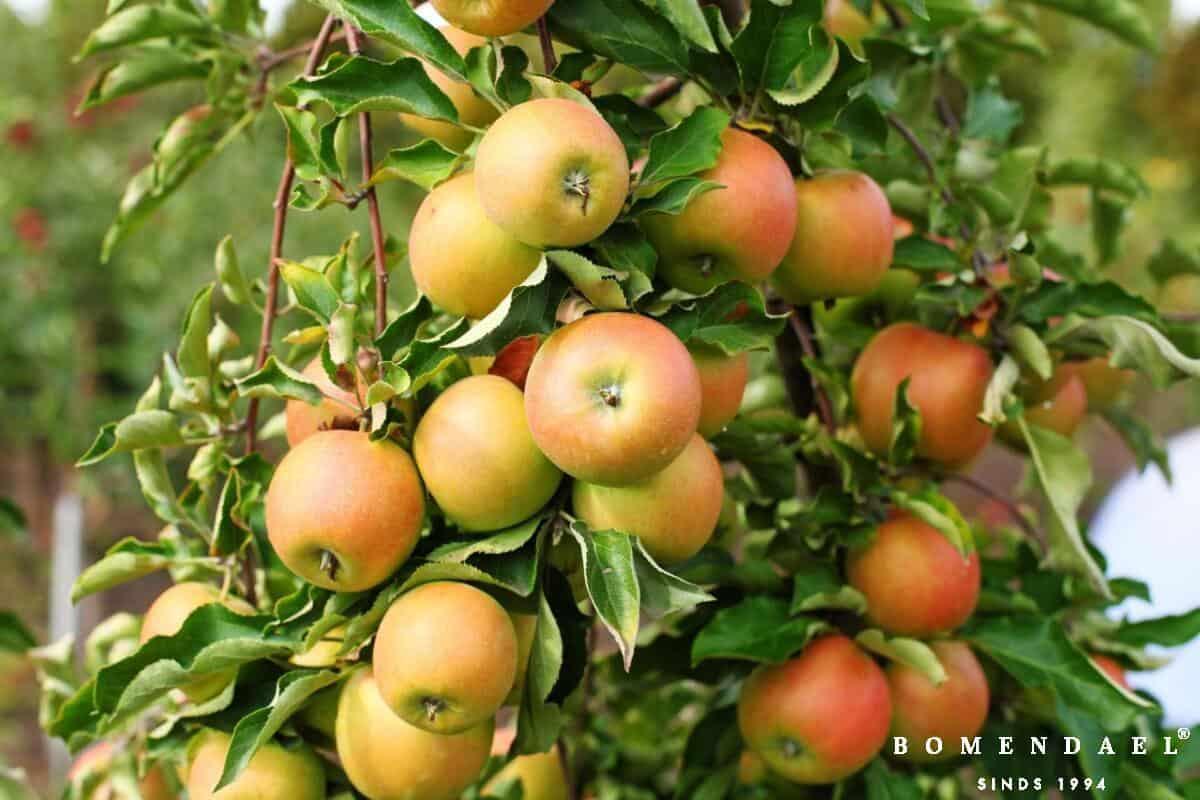 Appelboom Jonagold