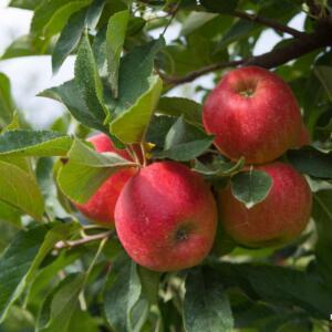 Algemeen-Appelboom-VruchtRedElstar (1)