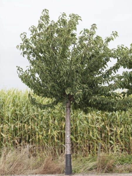 Algemeen-Kersenboom-Hoogstam-12jaar