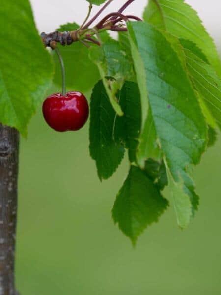 Algemeen-Kersenboom-VruchtBurlat