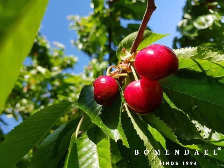 Algemeen-Kersenboom-VruchtRegina