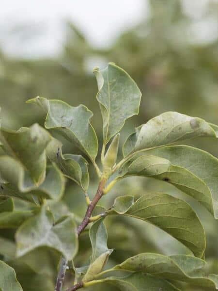 Algemeen-Magnolia-blad-1