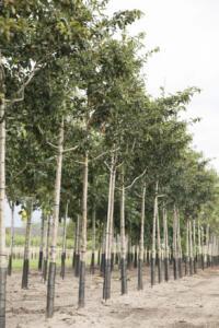 Vorstbescherming bomen