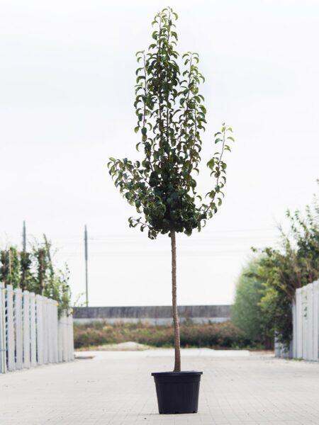 Algemeen-Perenboom-Halfstam-6jaar