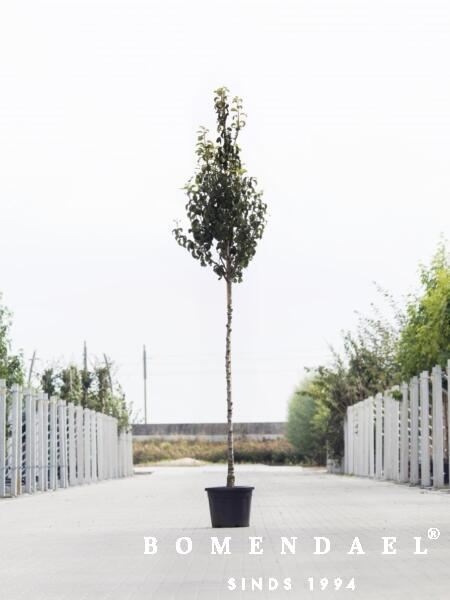 Algemeen-Perenboom-Hoogstam-6jaar