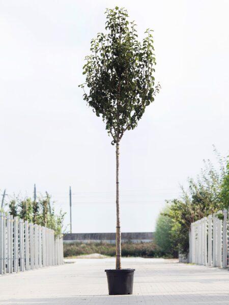 Algemeen-Perenboom-Hoogstam-8jaar