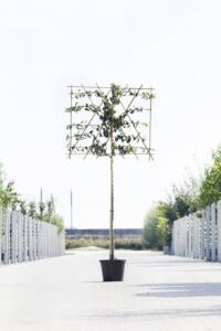 Algemeen-Perenboom-Hoogstam-Leivorm