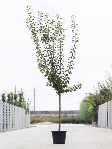 Algemeen-Pruimenboom-Halfstam-6jaar