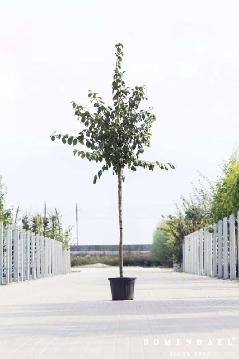 Algemeen-Pruimenboom-Hoogstam-6jaar-1