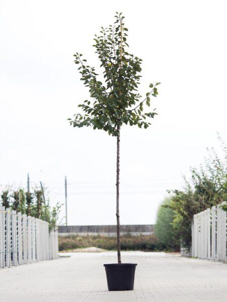 Algemeen-Pruimenboom-Hoogstam-6jaar-2