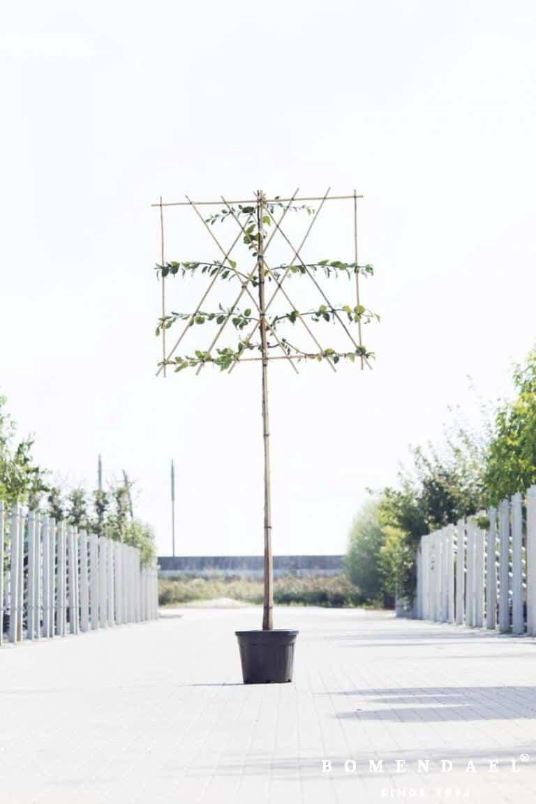 Algemeen-Pruimenboom-Hoogstam-Leivorm