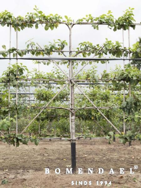 Algemeen-Pruimenboom-Leivorm