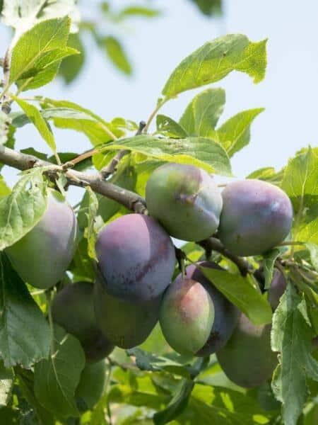 Algemeen-Pruimenboom-VruchtOpal