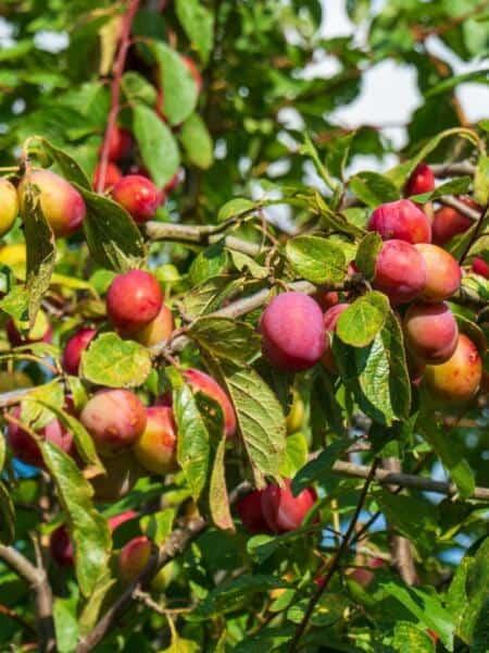 Algemeen-Pruimenboom-VruchtVictoria