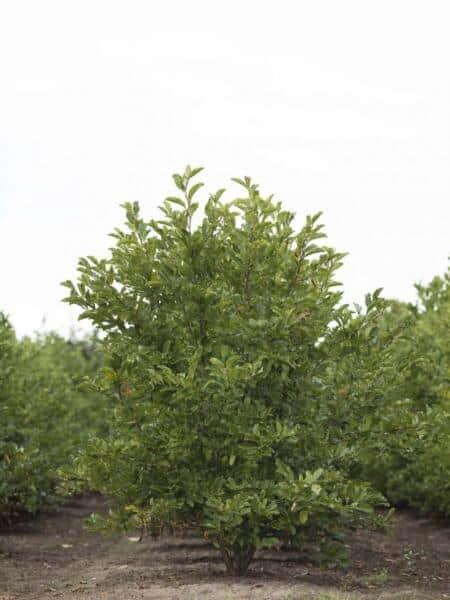 Meerstammigen-Beverboom-Magnolia-1