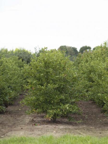 Meerstammigen-Beverboom-Magnolia-2