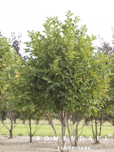 Meerstammigen-Beverboom-Magnolia-Opgeknipt