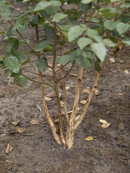 Meerstammigen-Himalayaberk-Betula-utilus-Doorenbos