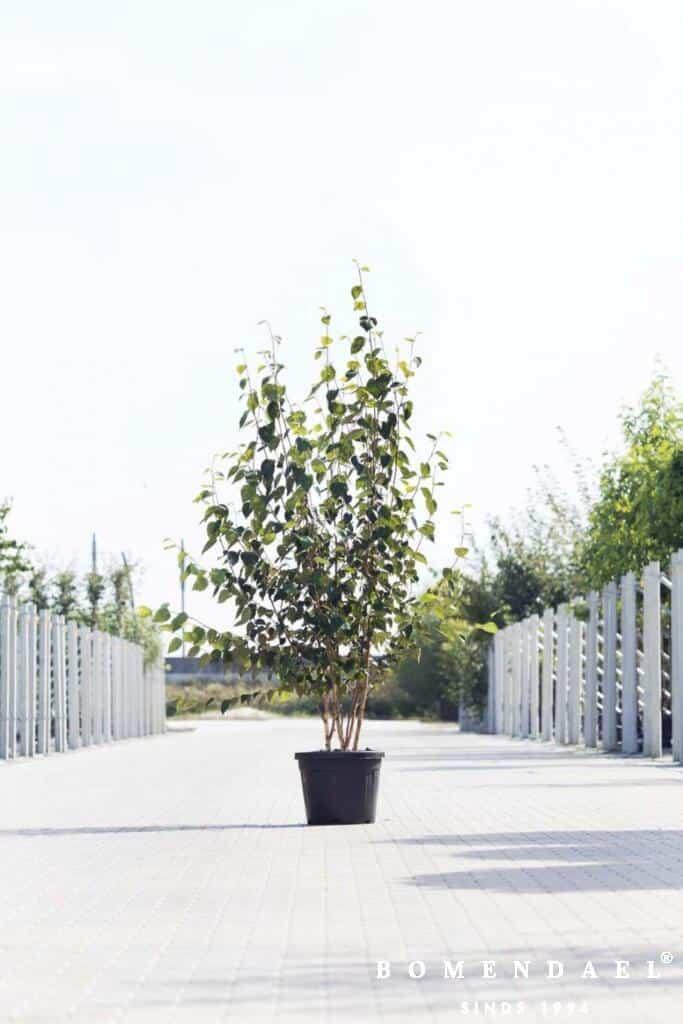 Meerstammigen-Himalayaberk-Betula utilus 'Doorenbos'-4