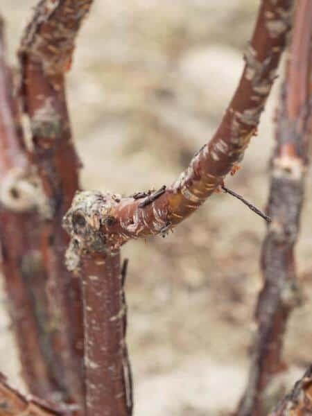 Meerstammigen-Japanse Sierkers-Prunus serrula-1