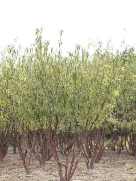 Meerstammigen-Japanse Sierkers-Prunus serrula-2
