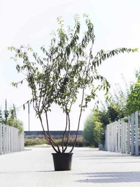Meerstammigen-Japanse Sierkers-Prunus serrula-3