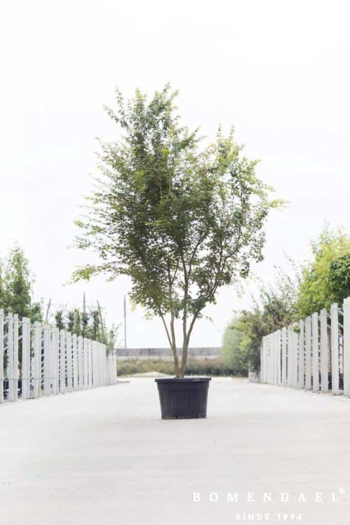 Meerstammigen-Japanse esdoorn-Acer Palmatum