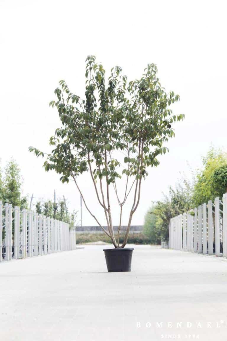 Meerstammigen-Japanse sierkers-Prunus serr. _Kanzan_-1