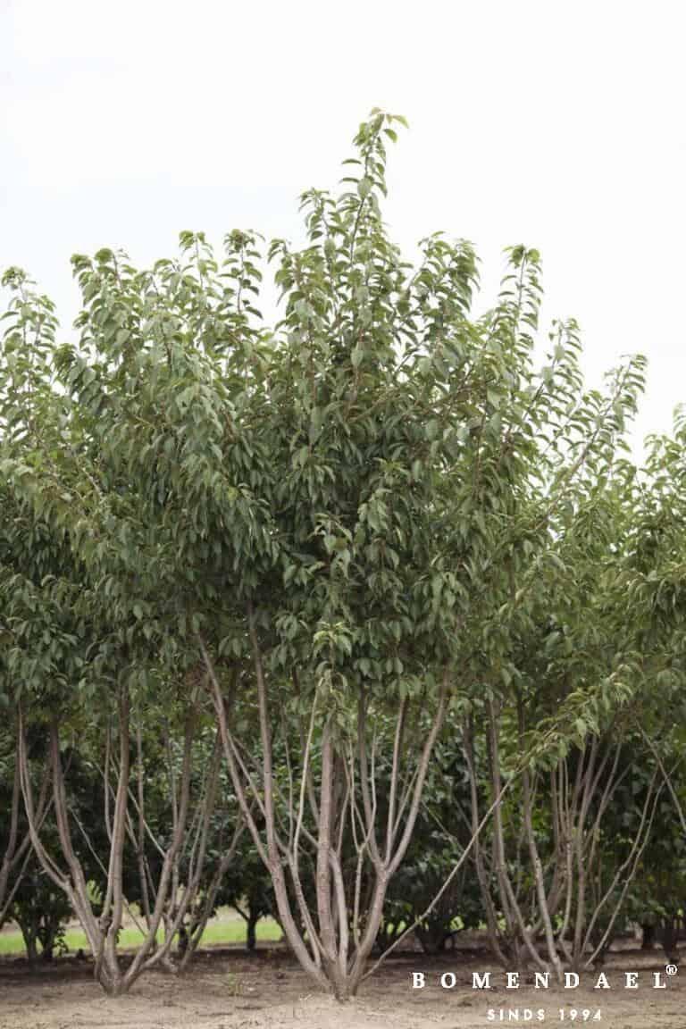 Meerstammigen-Japanse sierkers-Prunus serr. _Kanzan_-2
