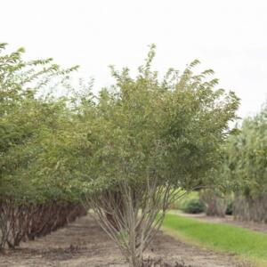 Meerstammigen-Japanse sierkers-Prunus subh. _Autumnalis_