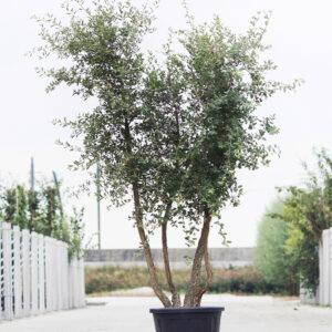 Meerstammigen-Kurkeik-Quercus suber