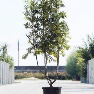 Meerstammigen-Lijsterbes-Sorbus Dodong-2