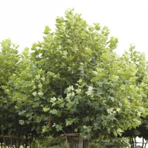 Meerstammigen-Plataan-Platanus acerifolia