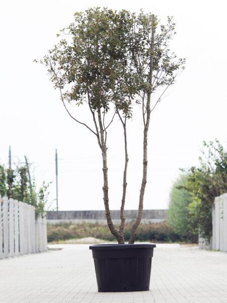 Meerstammigen-Steeneik-Quercus ilex