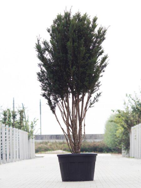 Meerstammigen-Venijnboom-Taxus Baccata