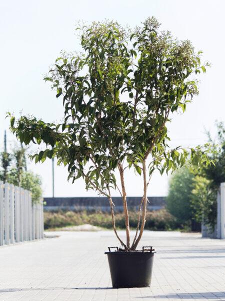 Meerstammigen-Zevenzonenboom-Heptacodium Miconioides