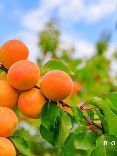 Prunus arm. 'Sungiant'