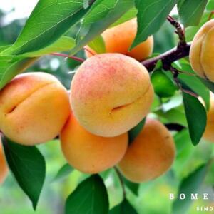 Prunus arm. 'Hongaarse'
