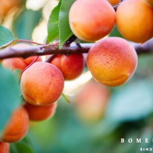 Prunus arm. 'Tros Oranje'