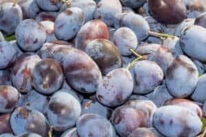 Prunus d. 'Stanley'
