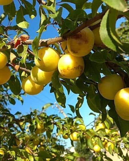 Prunus d. 'Mirabelle de Nancy'