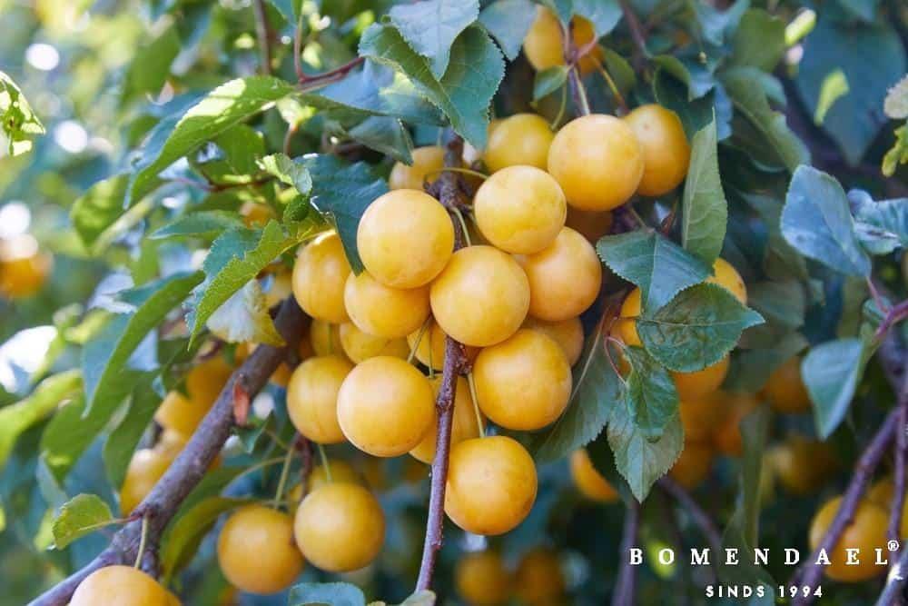 Prunus d. 'Reine Claude d'Oullins'