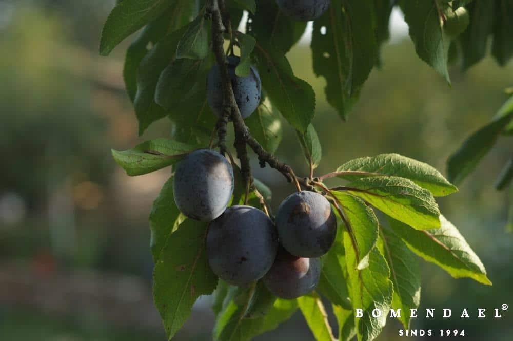 Prunus d. 'The Czar'