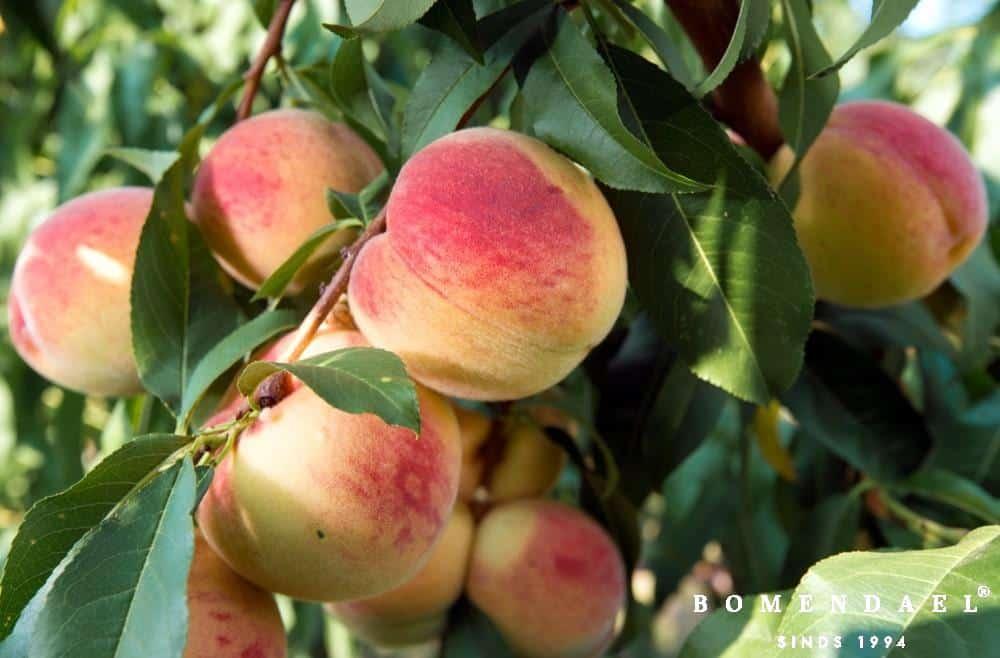 Prunus per. 'Amsden'