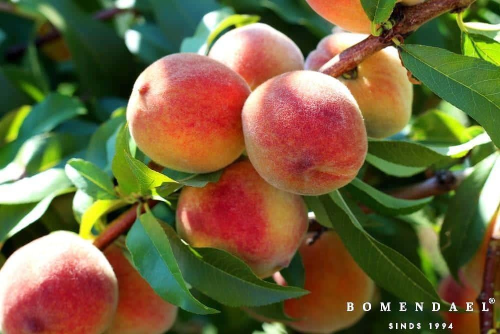 Prunus per. 'peregrine'
