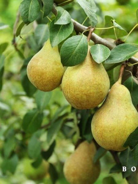 Pyrus c. 'Beur Hardy'
